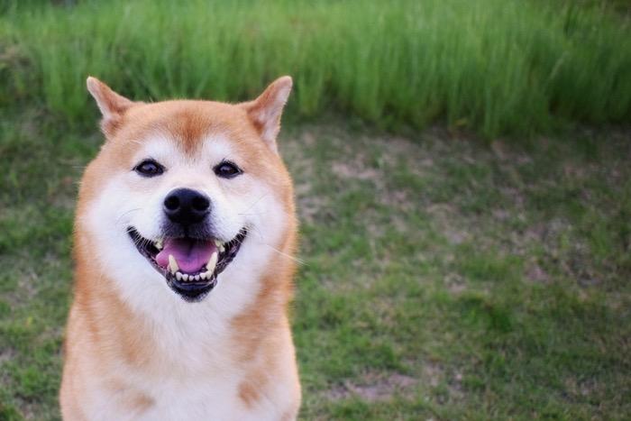 柴犬好き必見!柴犬専門情報メディアShiba-Inu Life(柴犬ライフ)」